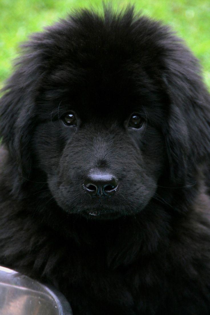 # Newfoundland dog #hound #hound