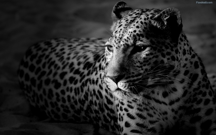 Black and withe leopard