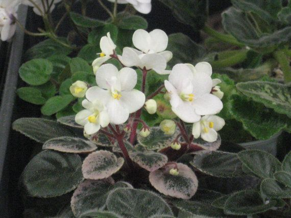 African Violet live plant ROB'S GRAY GHOST by Shantiyarnandknits, $3.00