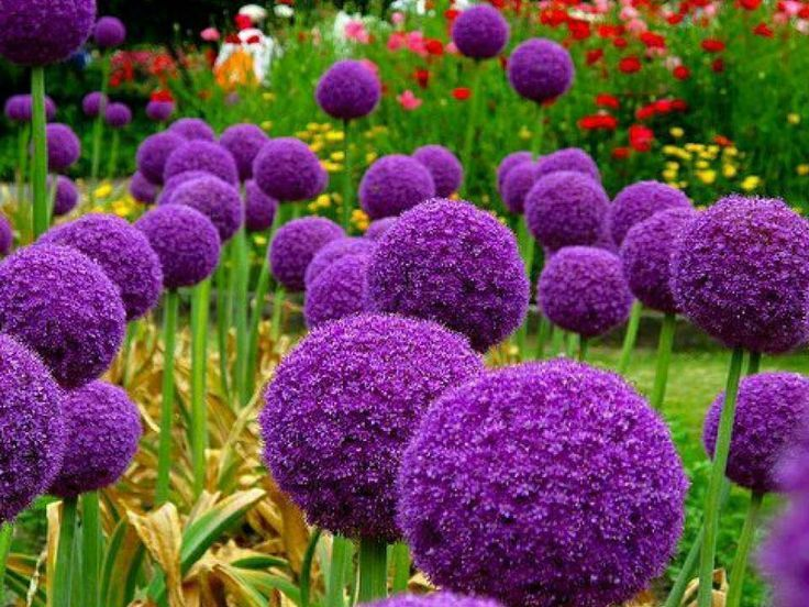 Allium giganteum, also known as Giant Onion, is a perennial bulbous plant of the onion genus, used as a flowering garden plant, and growing to 1. Description from infomazza.com. I searched for this on bing.com/images