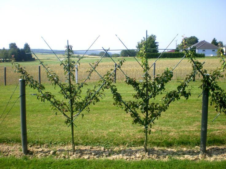 Poirier en palmette oblique planter un verger chez vous pinterest fruitier jardin - Quand planter un arbre fruitier ...