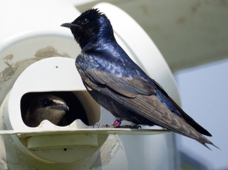 Purple martins are not extremely selective eaters. Because of their amazing capacity to consume larger flying insects, including dragonflies, beetles, locusts, weevils, moths, house flies, horse flies, and deer flies, martins make any neighborhood they colonize more pleasant.
