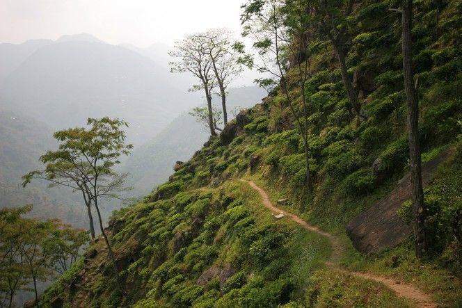 Kanchenjunga Tea Estate, une plantation népalaise située au bout du monde - Chercheur de Thé
