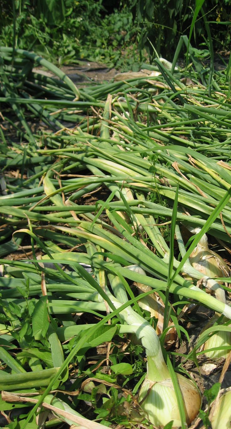 Interior designs medium size vertically growing onions growing onions - How To Grow And Harvest Onions