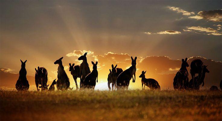 Kangaroos At Sunset.