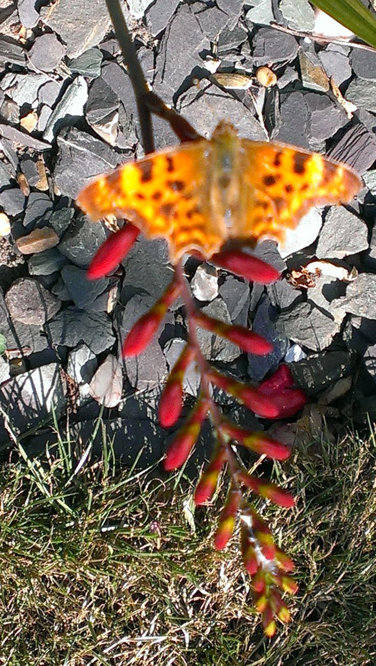 Comma Butterfly on Mombretia Diablo