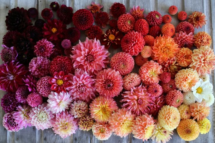 Ombre shades of dahlias blooming in early August at Floret Flower Farm.