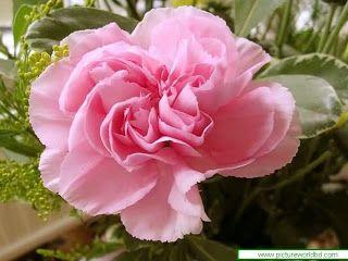 Flower Picture: Carnation Flower