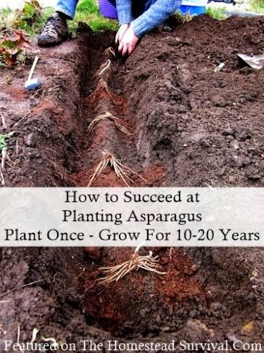 How to Succeed at Planting Asparagus Homesteading Garden
