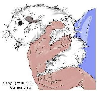 48 best guinea pig care images on pinterest guinea pig care fantastic tips on catching transporting and handling guinea pigs for adults and children ccuart Gallery