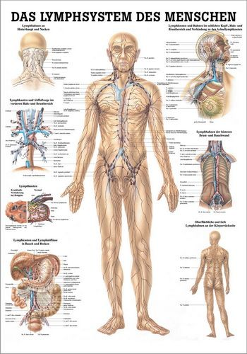 Das Lymphsystem des Menschen, 24 x 34 cm, papier