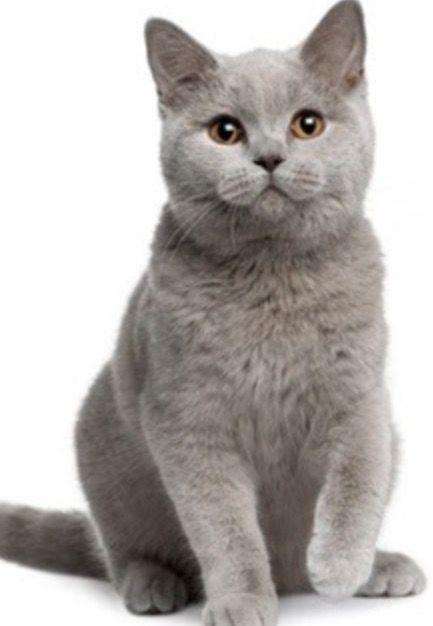 British Shorthair Grey