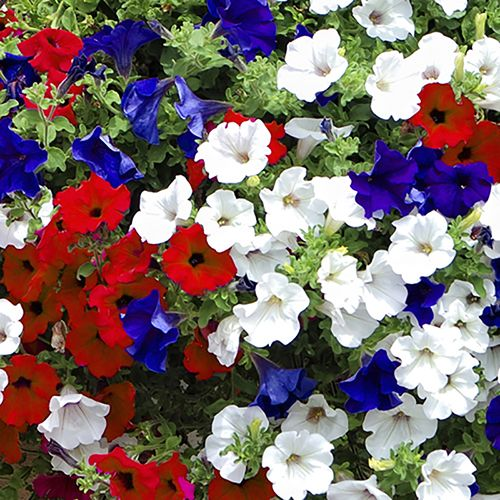 25 best ideas about petunia surfinia on pinterest for Surfinia balcone