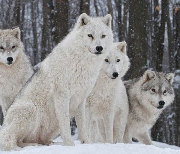 Wolf pack in the snow.