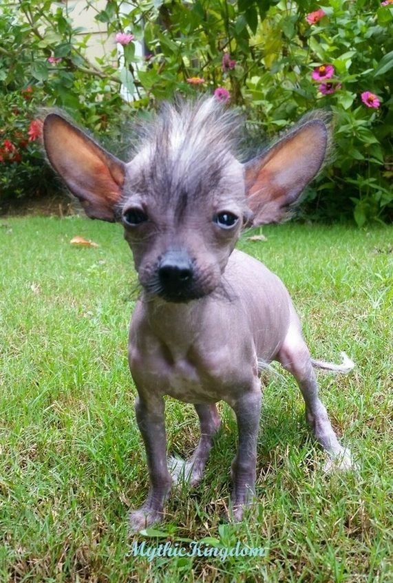 naked chihuahua 8 best chihuahua chinese crested mix images on pinterest 1267