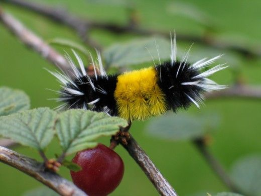 Wooly Bear Caterpillar: These little guys are often seen hot-footing it across the road in rural areas of eastern North America. They belong to the family of tiger moths (Arctiidae), which has many attractive and far-flung members. Wooly bears are the larva of the Isabella tiger moth, Pyrrharctia isabella, and they feed on a number of common plants found in second-growth areas and roadsides. When you see them hustling across the road, they are looking for a good place to spend the winter…