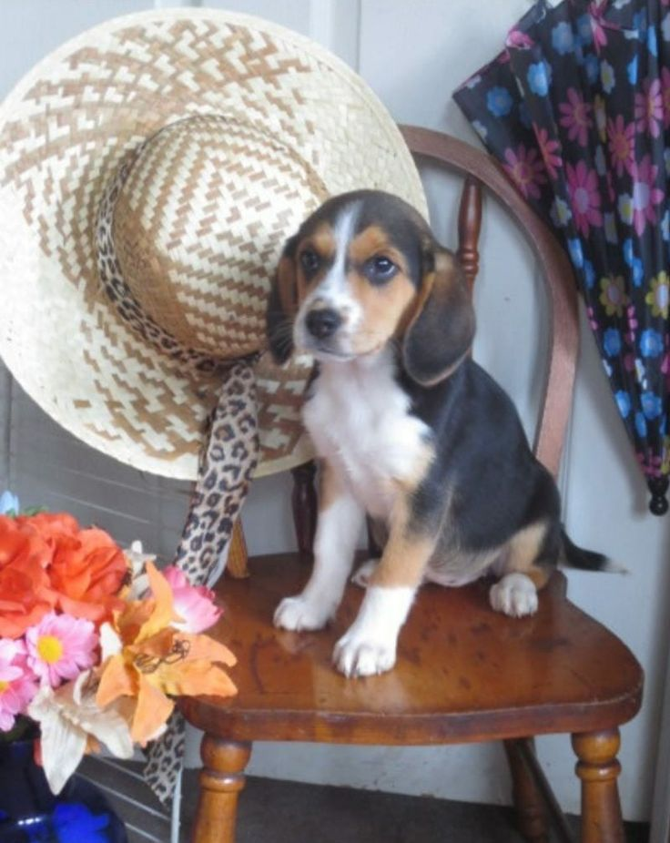 Beagle puppies for sale reading pa in 2020 beagle