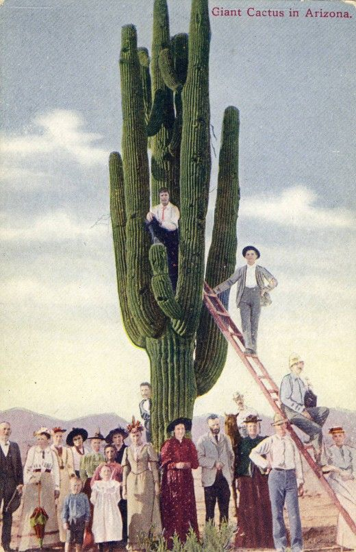 Saguaro Cactus Circa 1910. The practice of having a man, a group or a wagon posed under the saguaro showed the size of the giant saguaro. Source: My Historic Postcards