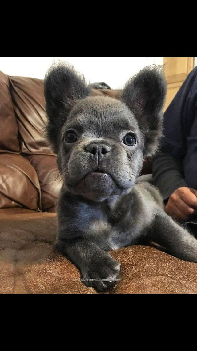 Long haired blue French bulldog