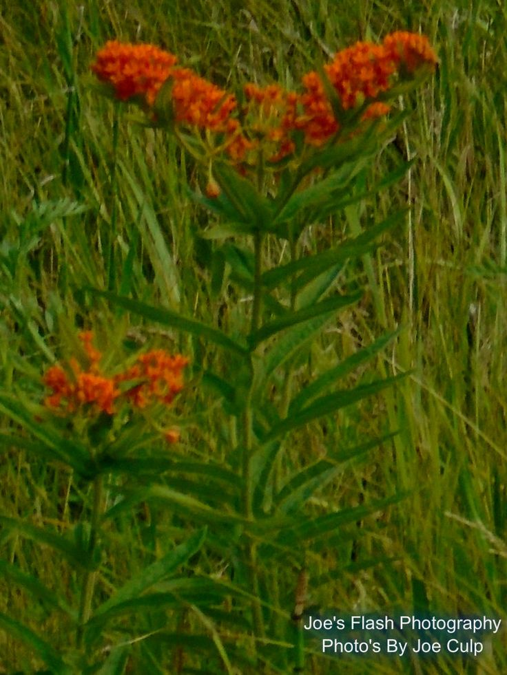 A rare wildflower taken offside of Fish and Game Club Road in Quinte West Ontario