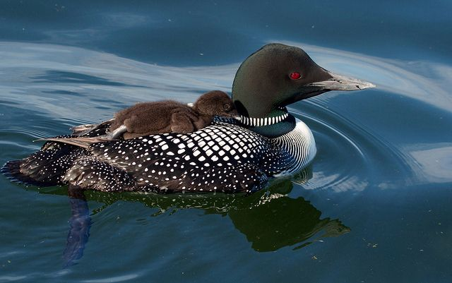 Common Loon is the Provincial Bird for Ontario, CANADA