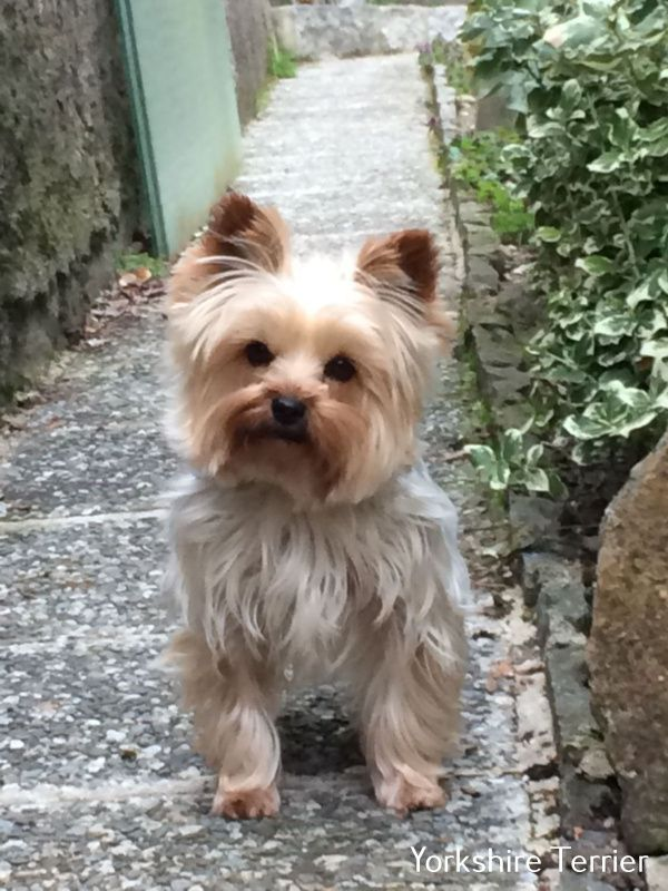 Yorkshire Terrier Energetic And Affectionate In 2020 Yorkshire Terrier Yorkie Lap Dogs