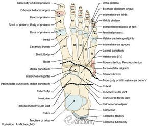 Human Muscle Quiz Printout | of foot - Anatomy : Bones; Skeletal system, Joints of foot, Muscles ...
