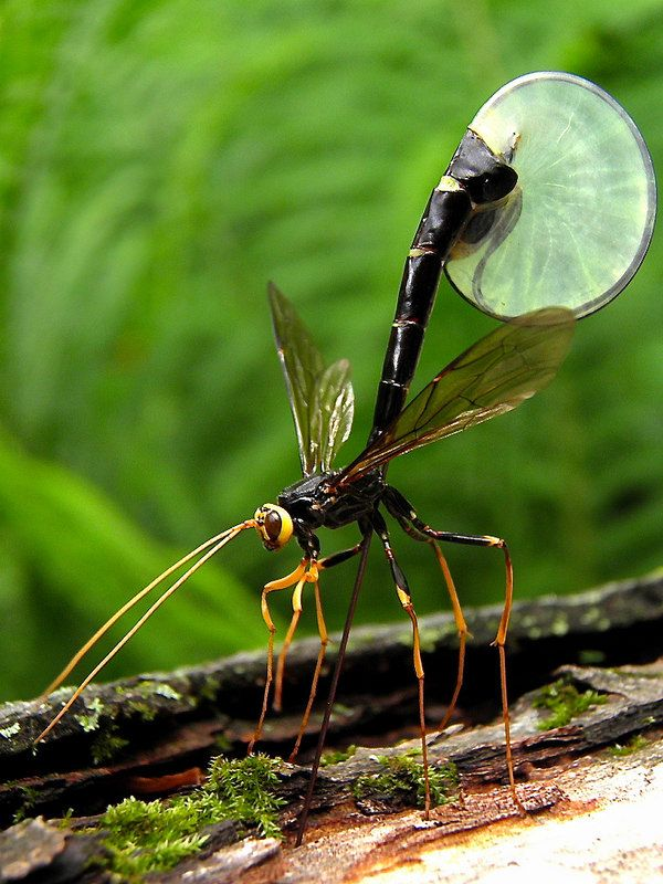 dragon flies beautiful bugs forward ichneumon fly 1 from flickr