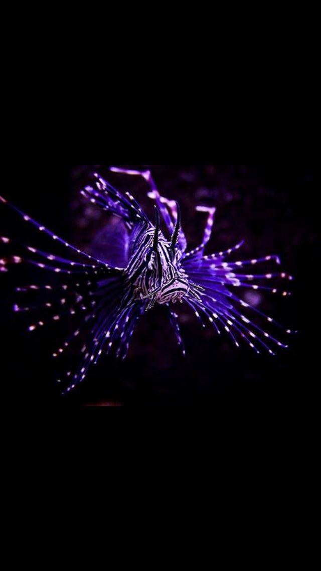 Purple fish