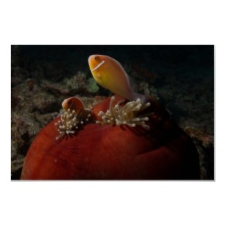 Cool poster featuring a pair of cute clownfish nestled in their ball anemone home.