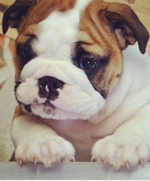 Adorable Bully baby