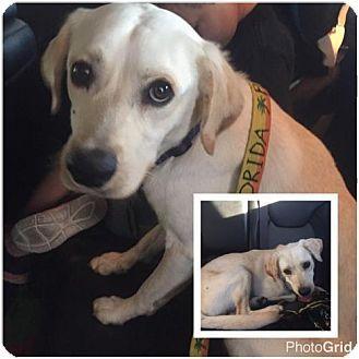 Naples, FL - Labrador Retriever Mix. Meet Just Jax, a dog for adoption. http://www.adoptapet.com/pet/17312030-naples-florida-labrador-retriever-mix