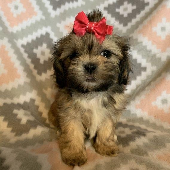Nina Shih Tzu Puppy In 2020 Shih Tzu Puppy Shih Tzu Puppies