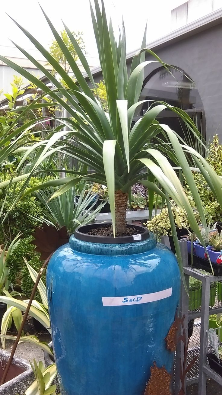 younger cheaper draceana draco for large pot in cluster