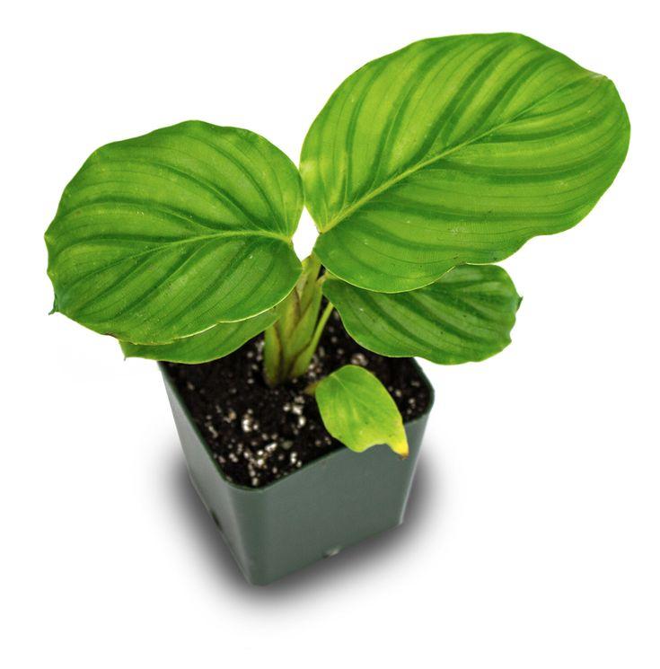 Best 25 terrarium plants for sale ideas on pinterest Calathea plants for sale