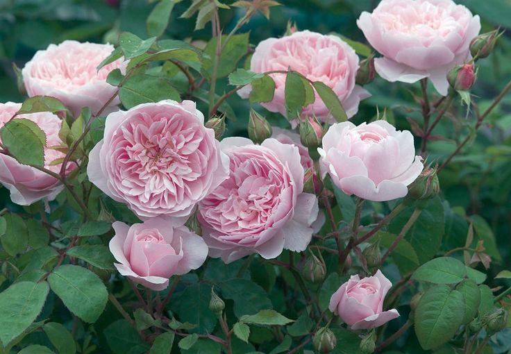 Engelske roser blev skabt af David Austin