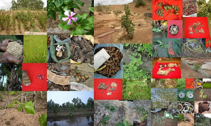 Medicinal Rice based Tribal Medicines for Diabetes Complications and Metabolic Disorders (TH Group-697) from Pankaj Oudhia's Medicinal Plant Database