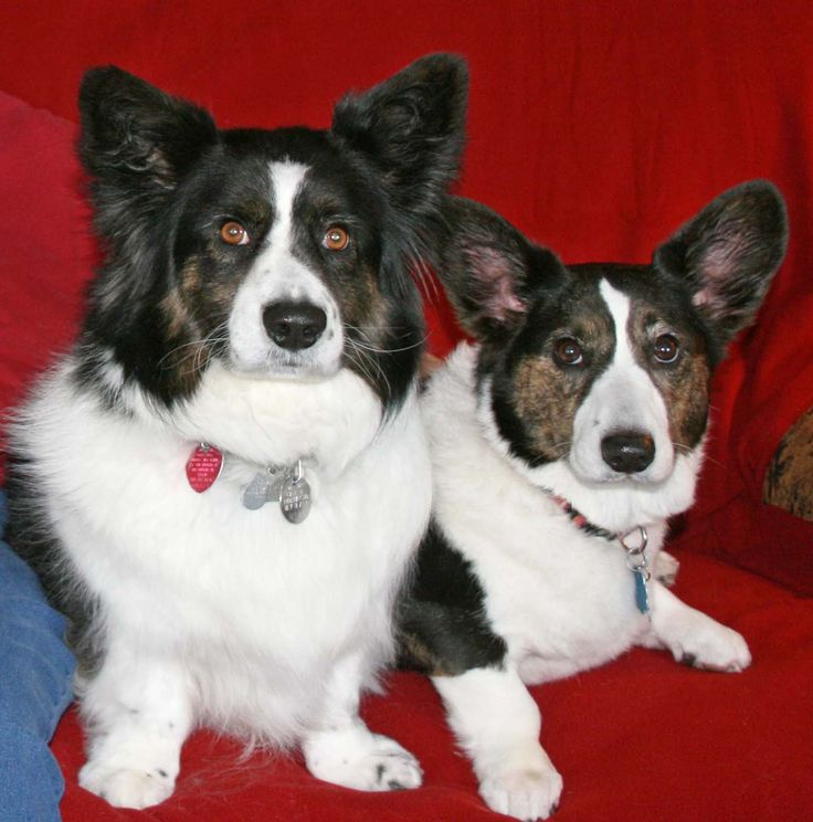 Two Cardigan Welsh Corgis - Cindy with a standard coat & Bogart with a fluffy coat