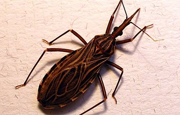 Vetor de da doença de Chagas ou Tripanossomíase americana (protozoário Trypanosoma cruzi). Barbeiro.