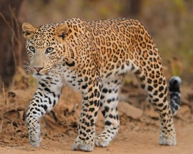 Indian Leopard | India Wildlife Parks and Sanctuary