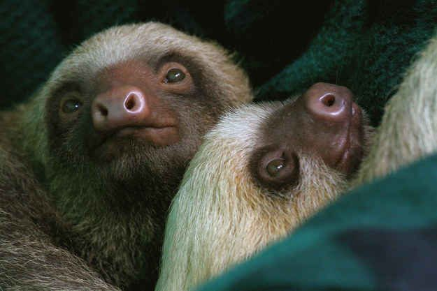 Sloths are either two-toed or three-toed, but the two-toed sloths are a little bigger.