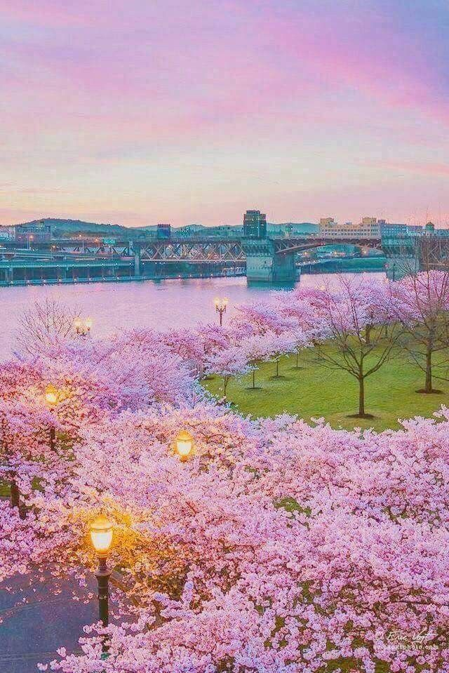Beautiful Cherry Blossom Japan Spring Scenery Spring Landscape Beautiful Nature