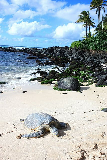 Turtle beach, Oahu, Hawaii (look but do not touch) :)