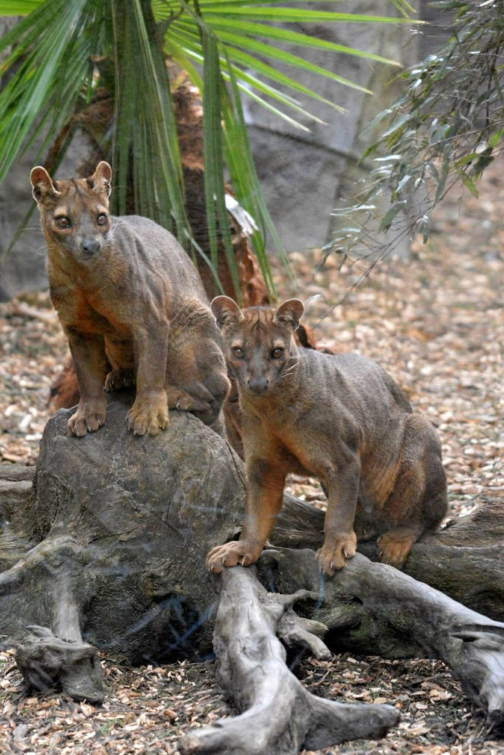 Fossa. They are huge! Saw one at the zoo, was mesmerized