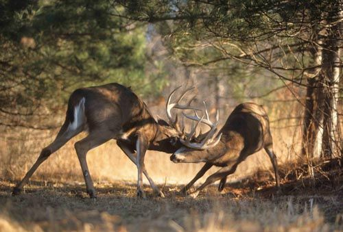 Still waiting to see this happen in person while sitting 18ft. up in my tree stand.
