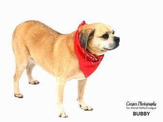 Port Charlotte, FL - Pug/Beagle Mix. Meet Bubby, a dog for adoption. https://www.adoptapet.com/pet/19536648-port-charlotte-florida-pug-mix
