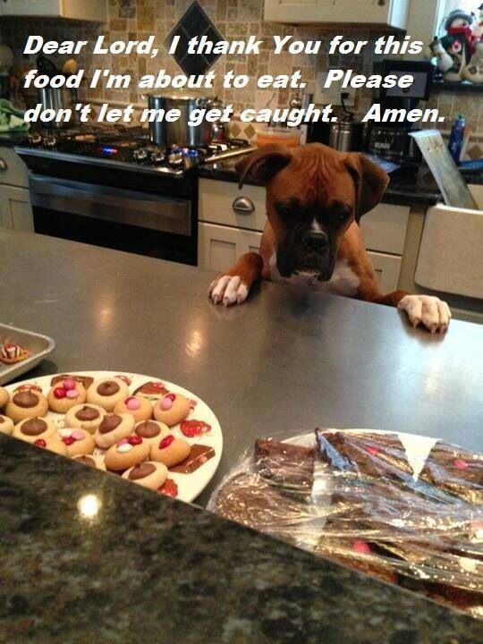One Boxer and a lot of food that looks very, very tempting. #puppied