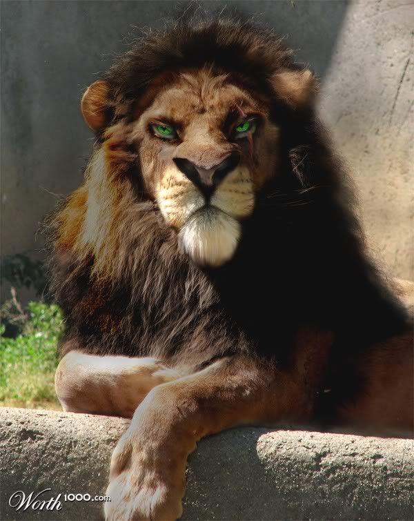 real life scar yea im scared for real the beauty of animals pinterest black lion. Black Bedroom Furniture Sets. Home Design Ideas