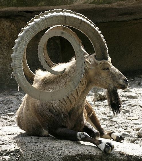 spiraling goat horns. What an amazing animal!