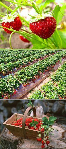 Секреты эффективного выращивания клубники + ВИДЕО